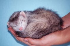 ferrets pictures - Google Search
