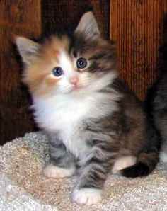 "Cute Little ""Rag Doll"" Kitten #NorwegianForestCat"