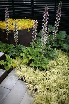 Bear's breech (Acanthus mollis) feather reed grass & acorus which spills over the path edges.  Angelina sedum fills the raised planter.  wittman estes architecture