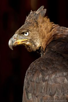..African crowned eagle (Stephanoaetus coronatus)..
