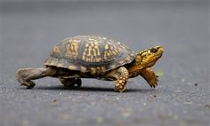 box turtle running- too cute! :) Our turtles really run fast when they are after crickets.