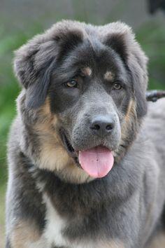 Tibetan Mastiff. Beautiful Silver!! #dog #mastiff #animal