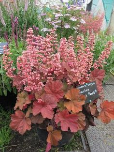 Coral Bells Heuchera Pink Pearls from Growing Colors Coral Bells Plant, Coral Bells Heuchera, Flowers Perennials, Planting Flowers, Outdoor Plants, Outdoor Gardens, Shade Garden, Garden Plants, Beautiful Gardens