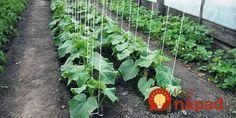Kak vyrastit' ogurtsy v otkrytom grunte Horticulture, Vegetables, Garden, Plants, Vegetable Gardening, Tips, Garten, Garden Planning, Lawn And Garden
