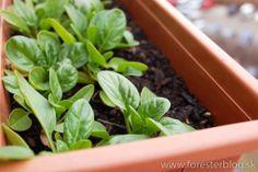 winter spinach