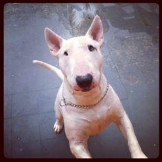 Swell - Bull Terrier