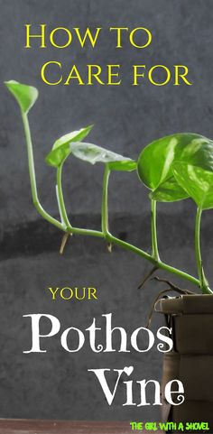 Pothos Vine Care Do you have a Pothos vine? Check out this post on Pothos Vine Care and learn about light requirements, water requirements, and overall Pothos care tips! Inside Plants, Ivy Plants, Garden Plants, Vine House Plants, Flowering House Plants, Easy House Plants, Greenhouse Plants, Fruit Garden, Shade Plants