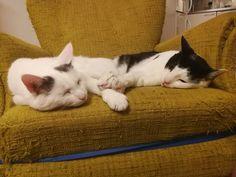 Kissat makaavat nojatuolissa Cats, Animals, Gatos, Animaux, Animales, Cat, Kitty, Animal, Dieren