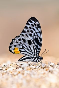 Ventral view of a Malayan Zebra (Graphium delessertii) Butterfly Images, Butterfly Crafts, Butterfly Wings, Butterfly Template, Butterfly Dragon, Butterfly Kisses, Monarch Butterfly, Beautiful Bugs, Beautiful Butterflies