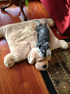 Zzzzzz -my Mini Schnauzer loves a comfy bed