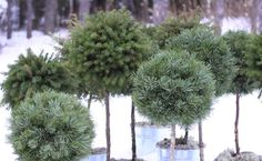 Topiary in pots surviving the cold. What a pleasure to see on a bleak wintery day if they can really survive