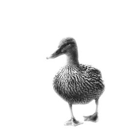 """""""The mighty duck"""" photography"""