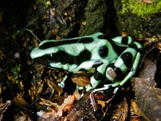 Poison dart frog video at Green Acres Chocolate Farm - excursion from Tranquilo Bay Eco Adventure Lodge in Bocas del Toro, Panama.