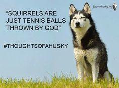Undeniable Reasons to Own a Siberian Husky Ideas. Irrefutable Reasons to Own a Siberian Husky Ideas. Funny Husky Meme, Dog Quotes Funny, Funny Dogs, Funny Animals, Husky Humor, Dog Humour, Funny Memes, Cute Husky, My Husky