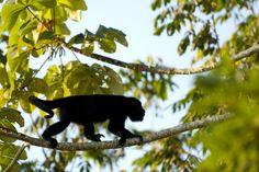 Resultado de imagen para mono aullador ecuador
