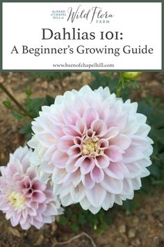 Dahlias A Beginner's Growing Guide — The Barn of Chapel Hill at Wild Flora Farm A 101 Beginner's Guide to Growing Dahilias. Tips and tricks to successfully grow great dahlias an Dahlia Flower Garden, Planting Dahlias, Plants, Dahlia, Flower Farm, Flower Garden, Dalia Flower, Most Beautiful Flowers, Dahlia Flower