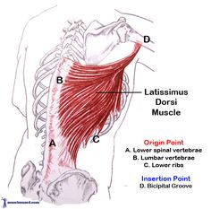 Latissimus Dorsi the large and powerful V shaped muscle on our back