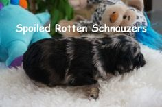 Blue Merle Teacup   Toy Schnauzer puppy by Spoiled Rotten Schnauzers