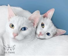 Twin Sisters, Iriss and Abyss, Are Cats With Stunning Heterochromic Eyes - World's largest collection of cat memes and other animals Pretty Cats, Beautiful Cats, Cute Cats, Bolivia, Turkish Van, All Gods Creatures, Cute Little Animals, Twin Sisters, Cat Breeds