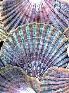 bellas conchitas de mar