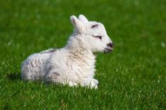 After PETA released a horrific video detailing one of Patagonia's suppliers abusing and killing lambs, the company has cut ties with the supplier. Thank Patagonia and animal rights activists for demanding the humane treatment of wool lambs.