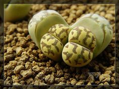 """""""Lithops are Succulents that grow very slowly and requires water 2 or 3 times a year."""""""