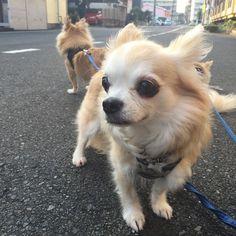 いまも昔もかわらないでしょ  #そうだよね #chihuahua #dog #dogoftheday #dogofthedayjp #dogsofinstagram #チワワ #ふわもこ部 #chihuahuadog #chihuahuaofinstagram #animal #onlychihuahua  #しっぽふぁさ部