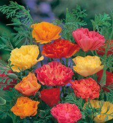 Premier Seeds Direct CLP01F California Poppy Mission Bells Flower Seeds (Pack of 2000)