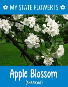 #Arkansas' state flower is the Apple Blossom. What's your state flower? http://pinterest.com/hometalk/hometalk-state-flowers/