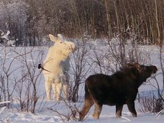 Have you ever seen a White Moose? This guy was spotted near Park City, Utah!