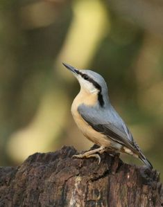 Lesley Starbuck: Female nuthatch