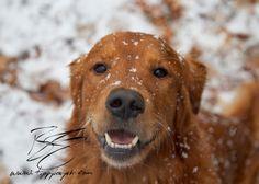 Puppy Tao: Snow Portraits: Snowy-faced Golden Retrievers