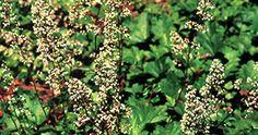 Heuchera maxima - island alumroot. California native plant; a good informal groundcover for dry shade; tolerates heavy clay soils; frilly green leaves look good all year.