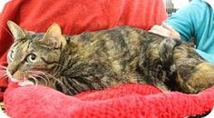Blackwood, NJ - Domestic Shorthair. Meet Ruth, a cat for adoption. http://www.adoptapet.com/pet/13919212-blackwood-new-jersey-cat