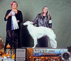 Deuce is awarded Best in Multi-Breed Show at the 2014 UKC Gateway Nationals!! #silken #windhound #bis
