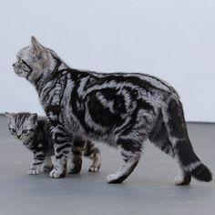 #salatino #clubesalatino #gato #cat #cats #pet #ilovemypet #animalplanet #bestphotos #ilovemypet #bsh #british #britishshorthair #lovecats #ilovemycat  #cute #love #gatos #gatil #cattery