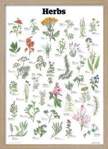 Herbs by Guardian Wallchart - Framed Art