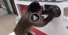 Monkey uses vending machine   #Videos #Animated #Funny #Amazing  #Animals #Awesome #comedy #Crazy #Car crashes #Stunt #Prank #Horror #Robbery #humor #Informative