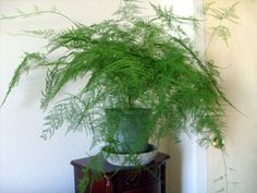 Asparagus Fern (delicate and wispy - good for tables) Indoor Ferns, Indoor Garden, Indoor Plants, Asparagus Fern, House Plants Decor, Plant Decor, Green Plants, Air Plants, Fern Plant