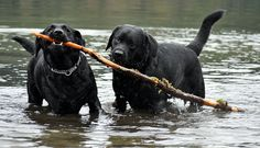 We have two labbies who fought over a stick in our backyard when they were younger - minus the water. It looked just like this! Memories...