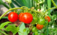 How to grow vegetables without a garden