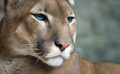 cougar photos | Nice Cougar Wallpapers Pictures Photos Images