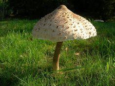La coulemelle (Macrolepiota procera) : un champignon comestible et délicieux !