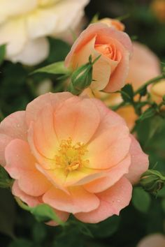 'Oso Easy Peachy Cream' - Horner, UK, 2001 - soft peach flowers that are self-cleaning; glossy foliage; high disease resistance; Z3