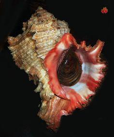 Hexaplex duplex f. saxatilis Mbour, Senegal, 205 mm w/o GIGANTIC SUPERB APERTURE | Collectibles, Rocks, Fossils & Minerals, Shells | eBay!