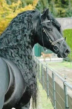 Beautiful Friesian, black, horse, stunning, cute, nuttet, hest, curly, fence, photo.