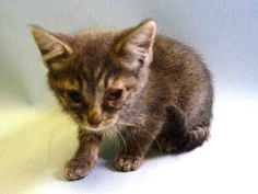 PINEAPPLE - A1044272 - - Manhattan   ***TO BE DESTROYED 07/21/15*** 9 WEEK OLD KITTEN WITH A COLD NEEDS A DEATH ROW PARDON TONIGHT!!! PINEAPPLE is a cute little tabby who is only 9 weeks old. She is underweight for her age and has conjunctivitis also which is easily treated with antibiotics. She is easy to handle and would love to come home with someone who can nurse her back to health. IF YOU CAN FOSTER THIS KITTEN PLEASE CONTACT A RESCUE NOW – FOSTERS NEED TO BE LOC