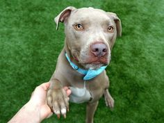 ROCKY - A1110620 - - Manhattan  TO BE DESTROYED 05/11/17 A volunteer writes: Hey girl, you feeling stressed? Just stare into my eyes for a minute…wow, I feel better already. Rocky's the name and if your idea of heaven is a guy with good looks, great manners and a heart as golden as these eyes then I'm thinking we might be a perfect match. Is that a treat in your other hand? I take my treats as seriously as my snuggles, and I'm looking for a family wi