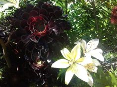 Aeonium and lily with burgundy stamens