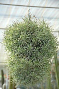 FLORACIONES EN MÁLAGA Y MÁS: Jardín Botánico de cactus y otras suculentas de Casarabonela 2 (Tillandsia aeranthos)